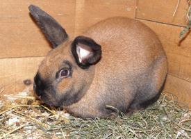 Durynský králík