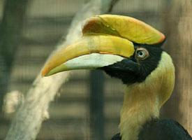 Dvojzoborožec žlutozobý