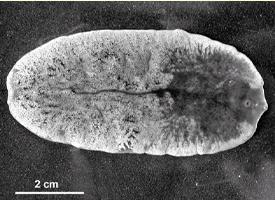 Fascioloides magna