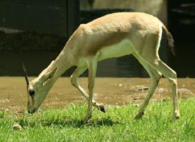 Gazela písková