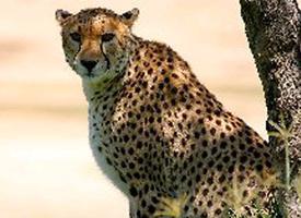 Gepard východoafrický