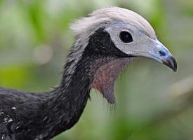 Guan modrohrdlý