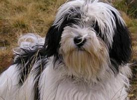 Havanský psík