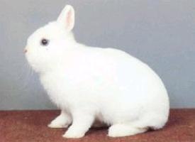 Hermelín (králík)