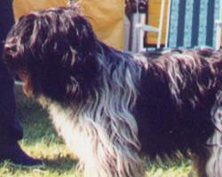 Holandský ovčácký pudl