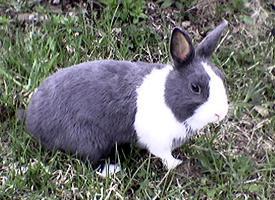 Holandský zakrslý králík