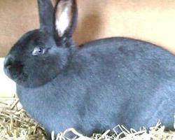 Holíčský modrý králík