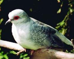 Holub guinejský