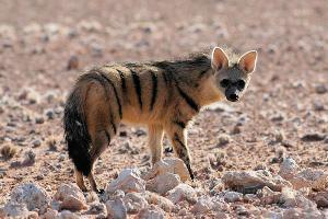 Hyenka hřivnatá