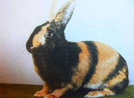 Japonský králík