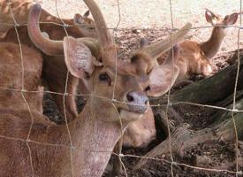 Jelen timorský