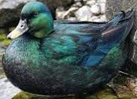 Kachna smaragdová