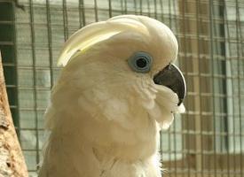 Kakadu brýlový