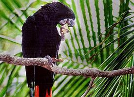 Kakadu havraní