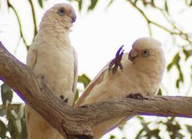 Kakadu naholící