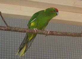 Kakariki červenočelý