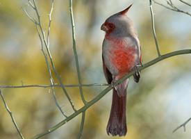 Kardinál úzkozobý