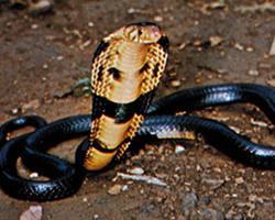 Kobra černokrká