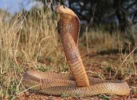 Kobra kapská