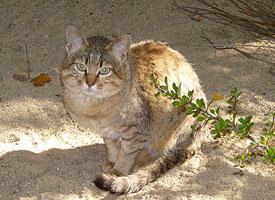 Kočka arabská