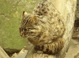 Kočka krátkouchá