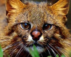 Kočka pampová