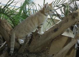Kočka pouštní