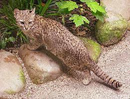 Kočka slaništní