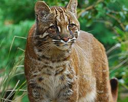 Kočka Temminckova