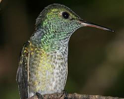 Kolibřík duhový