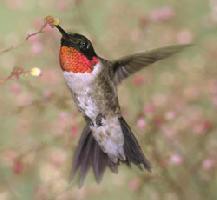 Kolibřík rubínohrdlý