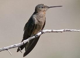 Kolibřík velký