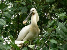 Kolpík bílý