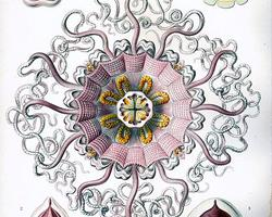 Korunovka purpurová
