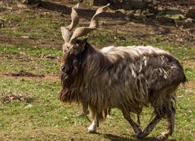 Koza šrouborohá