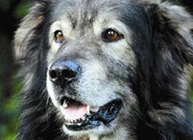 Krašský pastevecký pes