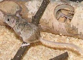 Křečík myší