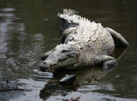 Krokodýl americký