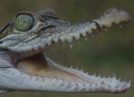 Krokodýl filipínský