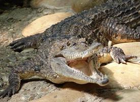 Krokodýl Johnstonův