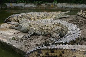 Krokodýl orinocký