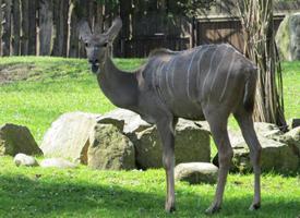 Kudu velký