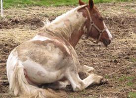 Kůň domácí