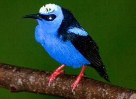 Květomil modrý