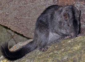 Laoská skalní krysa
