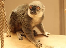 Lemur běločelý