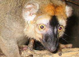 Lemur bělohlavý