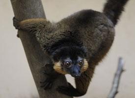Lemur límcový