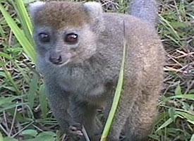 Lemur rákosový