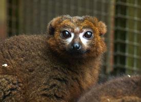 Lemur rudobřichý